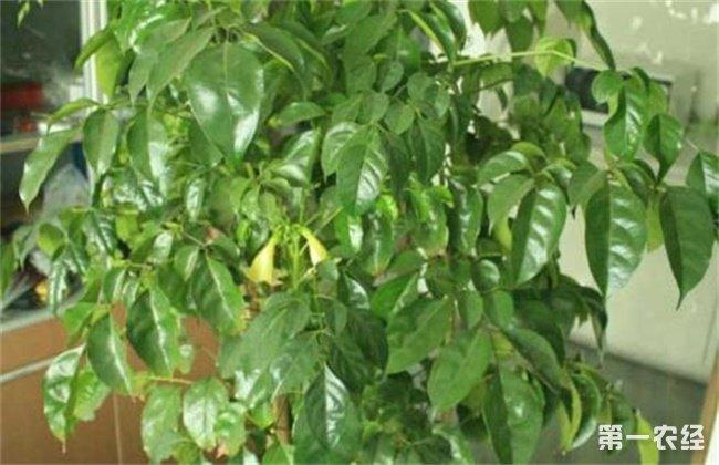 幸福树叶子发黄脱落原因