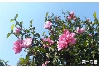 "<b>木槿花有""沙漠玫瑰之称""</b>"