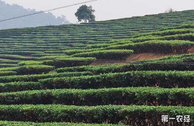 贵州山区茶树栽培技术
