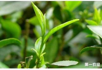 <b>贵州在海拔1100米左右山区茶树栽培技术</b>