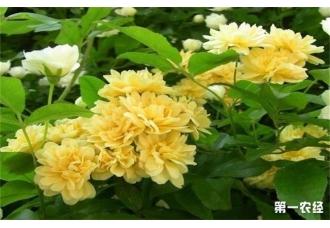 养殖黄木香的方法以及注意事项