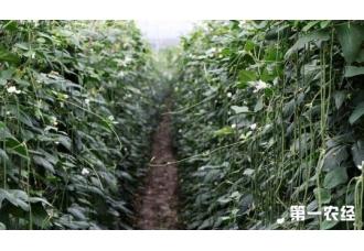 豆角的种植管理应该了解