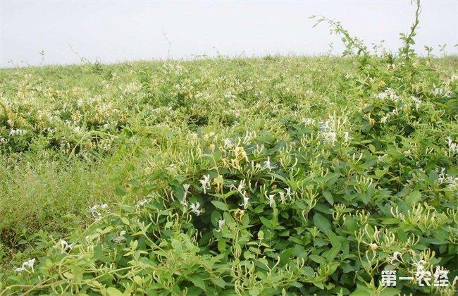 金银花 种植条件 生长环境