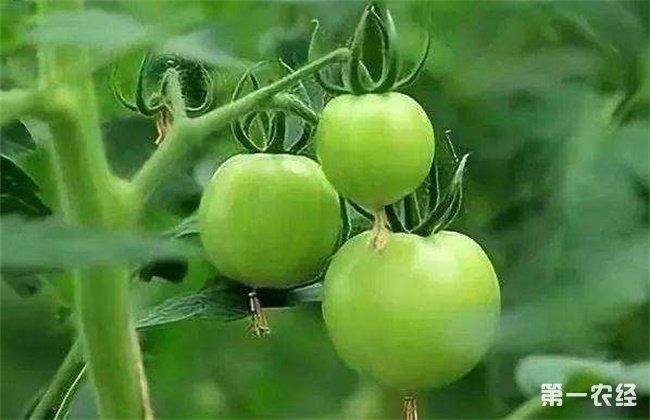 西红柿不膨果的原因及解决办法