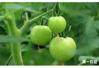 为何西红柿不膨果?具体什么原因呢