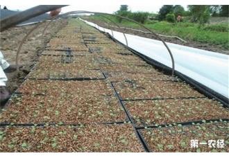在早春种植好番茄育苗技术