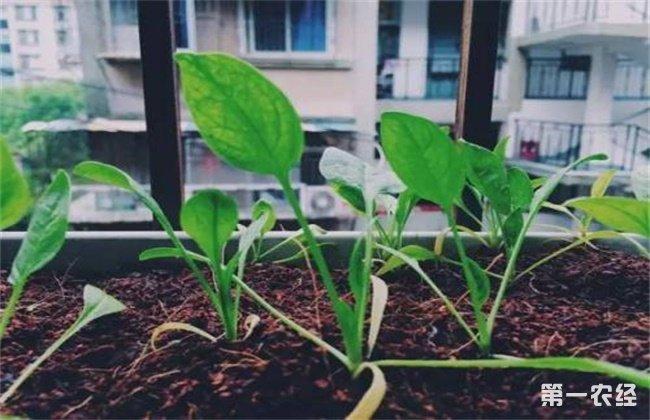 菠菜播种出苗率低怎么办