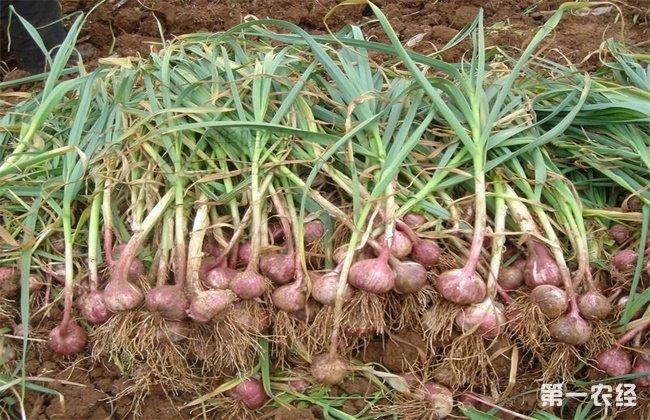 独头蒜的种植技术