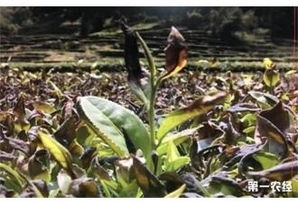 <b>春寒时茶树如何预防?</b>
