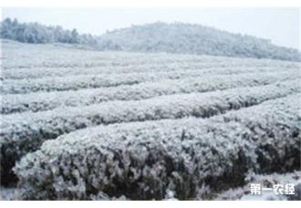 <b>冻害会造成茶树茎杆开裂,茶树冻害该怎么补救呢?</b>