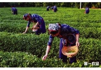 <b>茶叶采摘后应该如何去管理呢?</b>