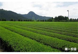 <b>茶树对生长环境是有一定要求 那么具体有什么呢?</b>