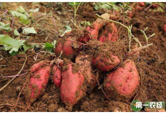 红薯的虫害有什么呢?要怎么防治?