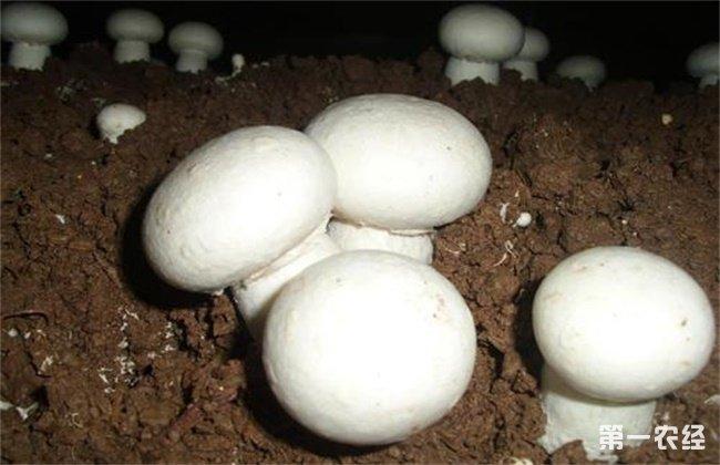 双孢菇空心薄皮原因和预防措施