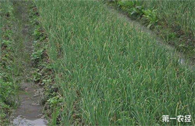 洋葱生长异常的防治措施