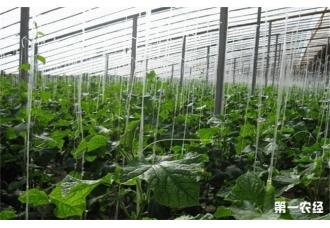 该怎么预防大棚黄瓜急性死苗呢?