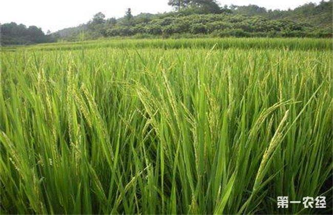 水稻抽穗困难的原因及解决方法