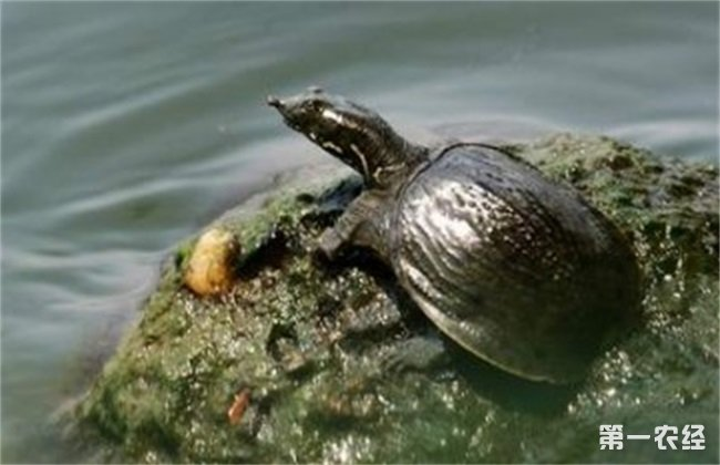 甲鱼养殖环境要求