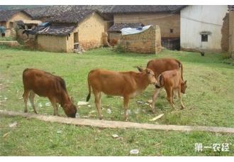 要注意做好牛犊在出生后几种常见问题