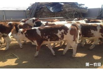 <b>肉牛该怎么快速育肥呢?</b>