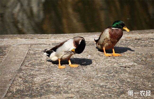 绿头鸭养殖 市场前景
