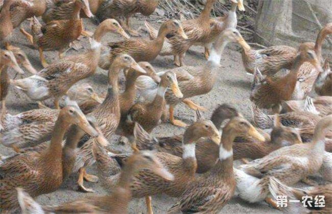 春季养鸭饲养 春季养鸭管理