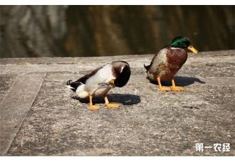 <b>绿头鸭的养殖市场前景现在到底怎么样呢?</b>