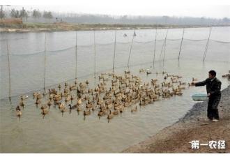 <b>春季养鸭饲养管理要点你们知道吗?</b>