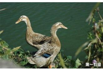 <b>到底有什么因素会影响蛋鸭的产蛋率呢?</b>
