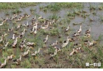 生态养鸭一共有几种模式哪几种?