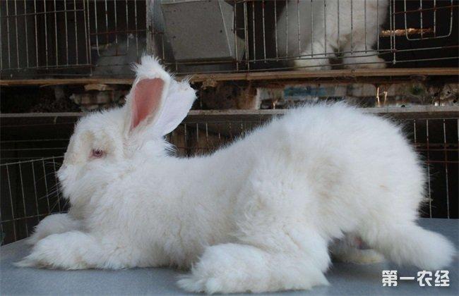 长毛兔 采毛方法 注意事项