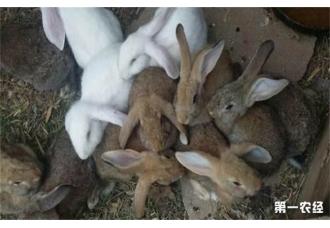 <b>想要保证幼兔有高存活率该怎么去做呢?</b>