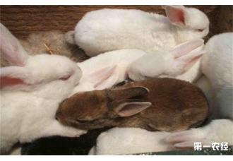 仔兔在断奶时如何提高成活率
