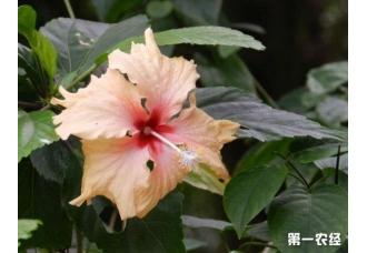 扶桑花怎么养才能多开花?