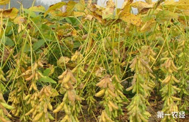大豆黄叶、死苗
