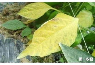 大豆黄叶、死苗的原因什么?该如何防治?