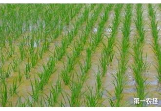 那么水稻洪涝后该怎么办呢?