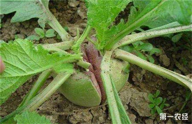 白萝卜裂根原因及防治方法