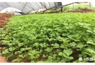 芹菜是怎样育苗的?什么时候育苗好?