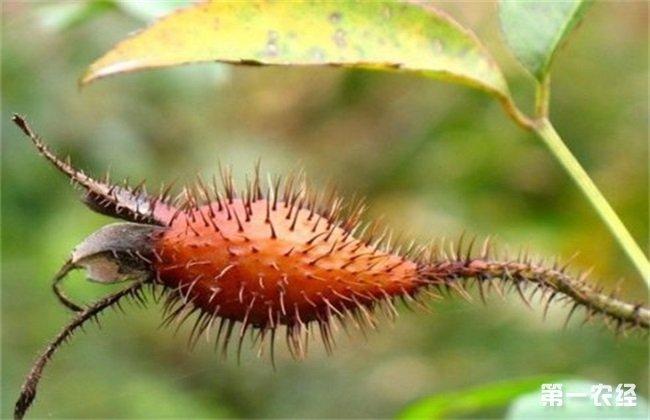 金樱子 繁殖 方式