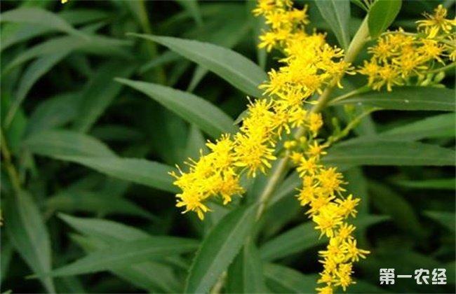 一枝黄花常见病虫害的防治方法
