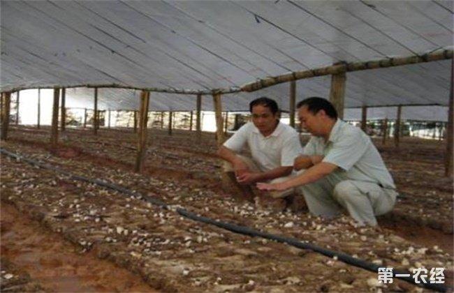 茶树菇的种植注意事项