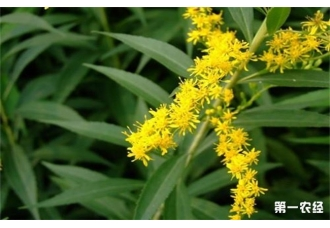 枝黄花有哪些病虫害呢?又该如何防治?