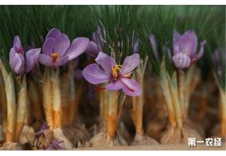 藏红花种植的注意事项的介绍