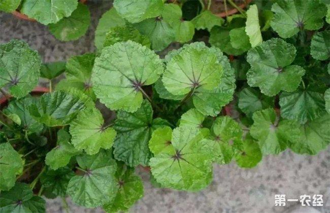 冬葵种植时间 冬葵种植方法