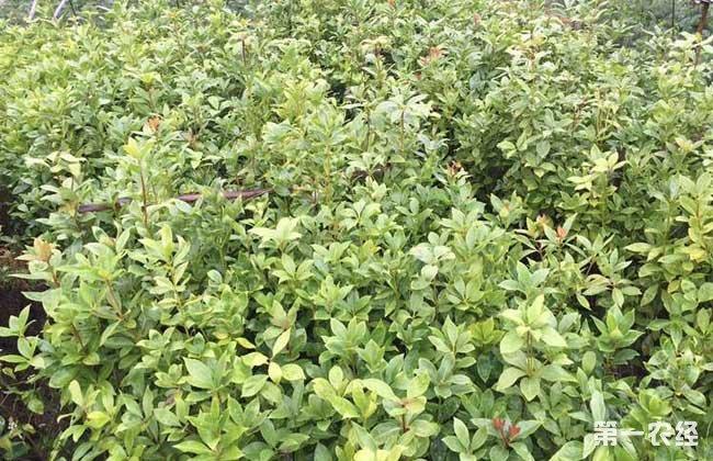 八角茴香树苗价格