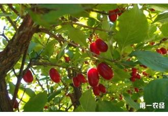 山茱萸种子价格及种植方法
