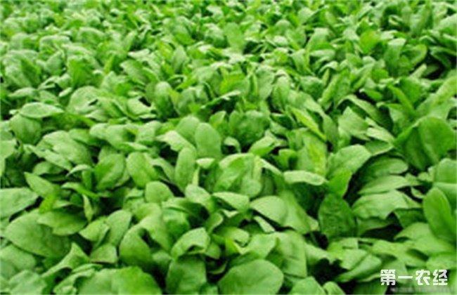 春菠菜的种植要点
