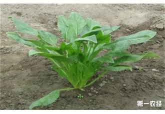 <b>春菠菜的种植要点</b>