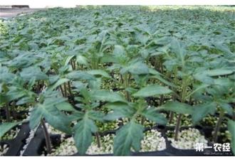 西红柿为什么不适合分开种植